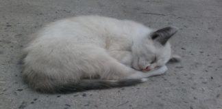 Gatos-Zulia
